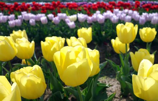 Nogata_tulip01