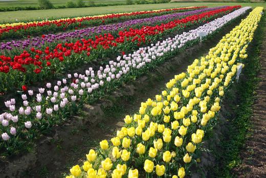 Nogata_tulip02