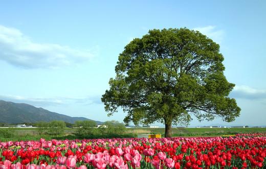 Nogata_tulip04